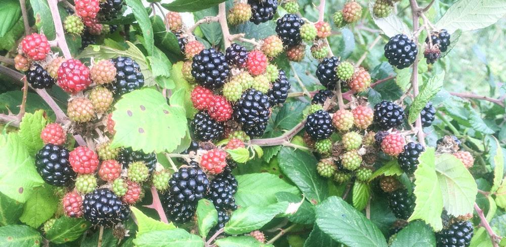 Blackberries galore
