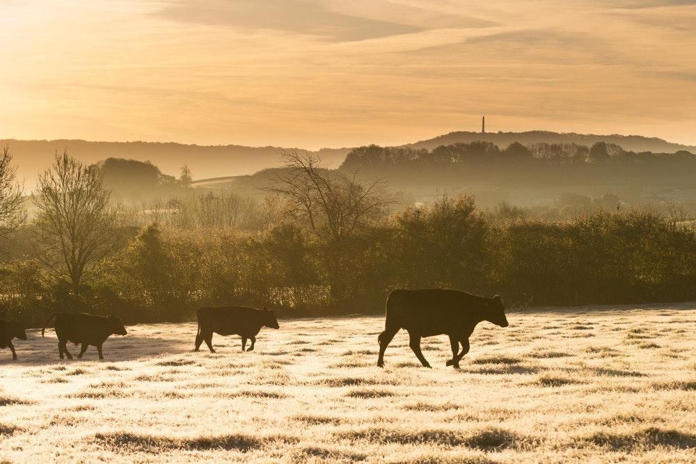 Cattle in the early November frost