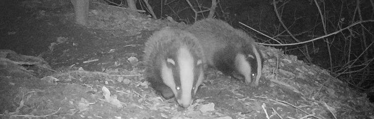 Two badgers emerging from their set by The Cottage Beyond