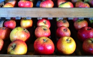 Apples from the orchard ready for winter storage!