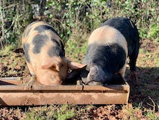 Pigs spot and stripe