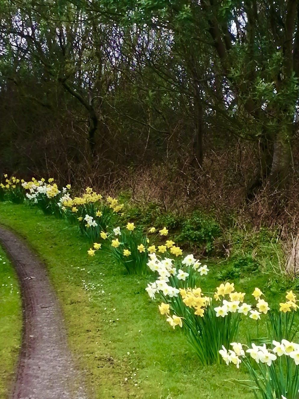 Plenty of daffodils in bloom at Bodfan