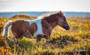Wild Ponies On Both Exmoor And The Quantocks
