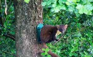 Pine Marten at our squirrel feeder