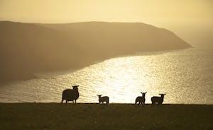 Sheep on North Devon Cliffs