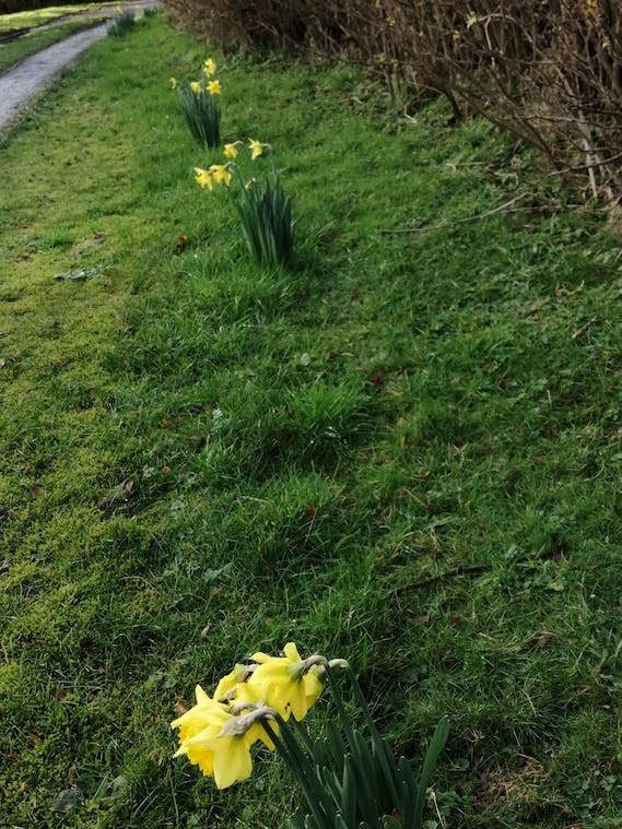 Daffodils at Bodfan, Anglesey