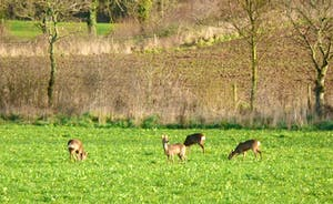 Roe deer busy grazing our fields, herds of up to 10 wander our land throughout the year