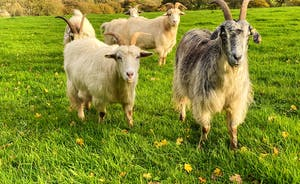 The Cottage Beyond: The long haired goats who live on the organic farm here