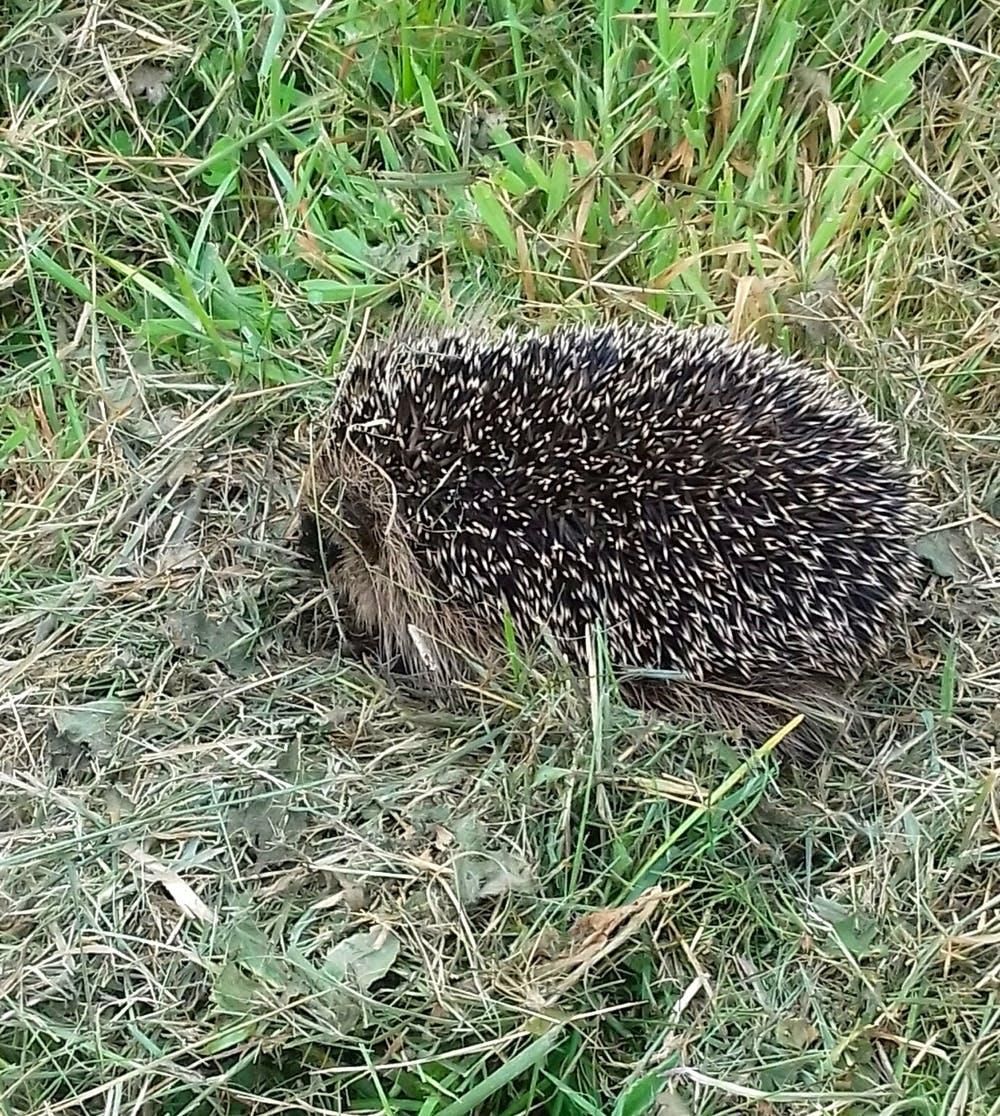 Hedgehog at Bodfan