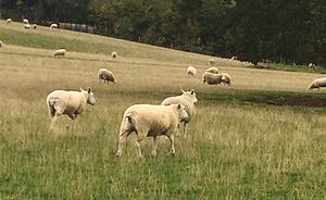 walk amongst the sheep in the adjacent pastures!