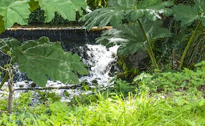 Bossington Hall - Paths meander amidst the giant gunnera in the water garden