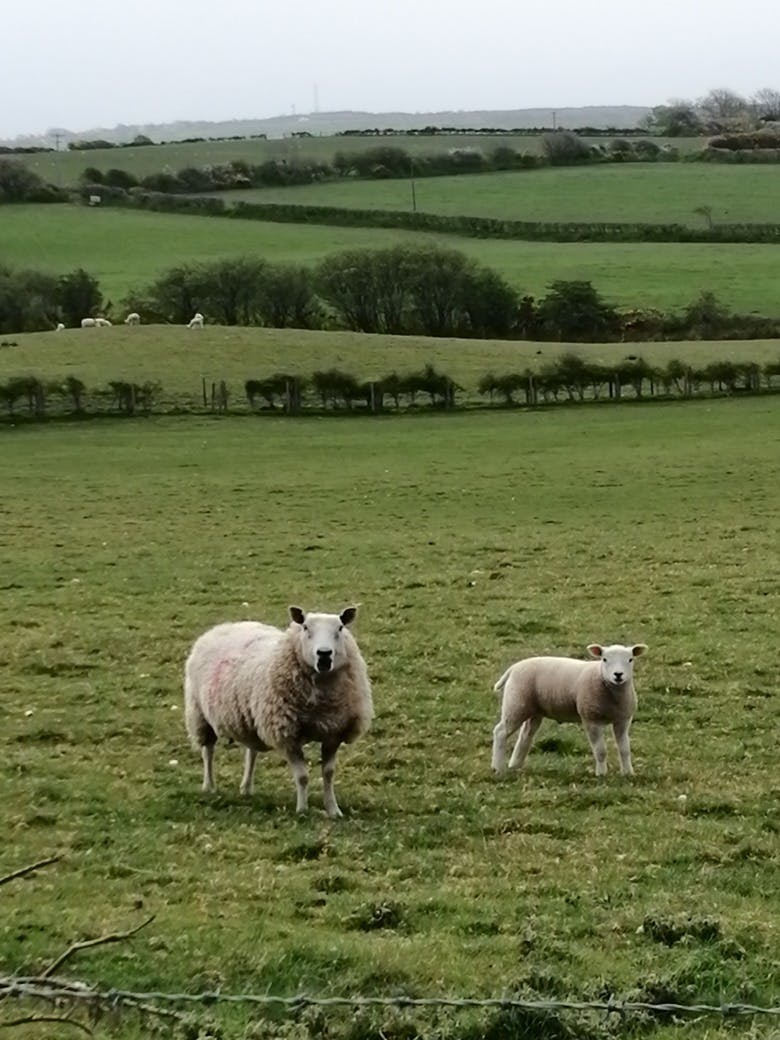 Sheep in the Green field that surround Bodfan