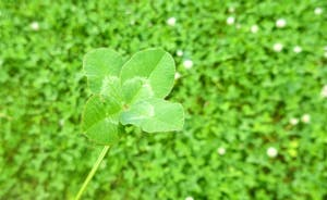 The Cottage Beyond: Scour the fields for lucky four leafed clovers