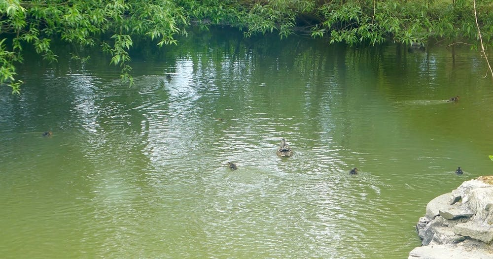 Ducks in the water at Bodfan