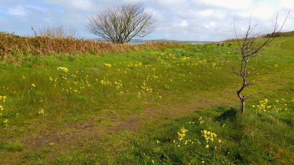 Cowslips on a nearby countryside path