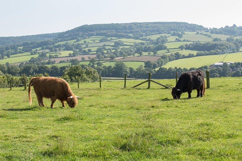 Cows at Blackdown Luxury Lettings