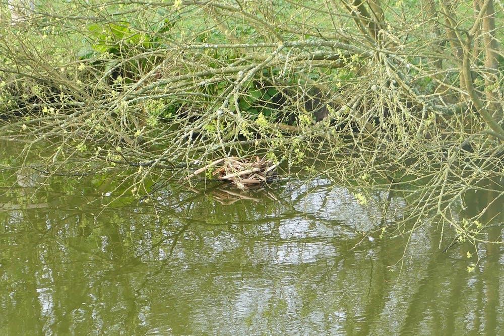 Moorhen nest at Bodfan's pond