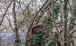 Red Squirrel in garden (regular visitors)