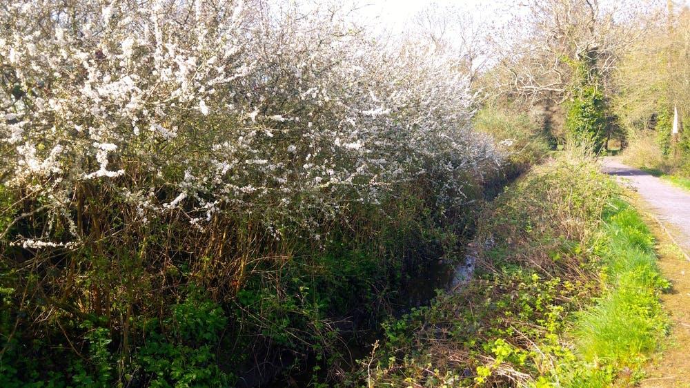 Blossom lining the lane