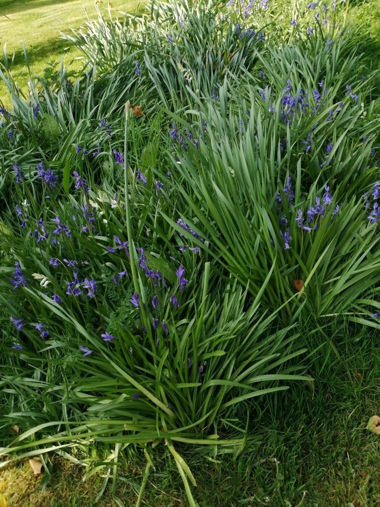 Bluebells at Bodfan, Anglesey