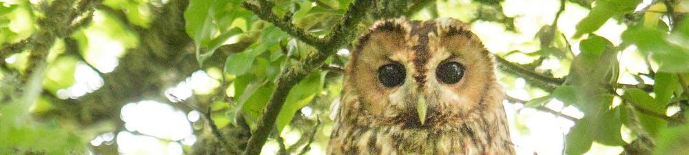 Tawny Owl's eyes