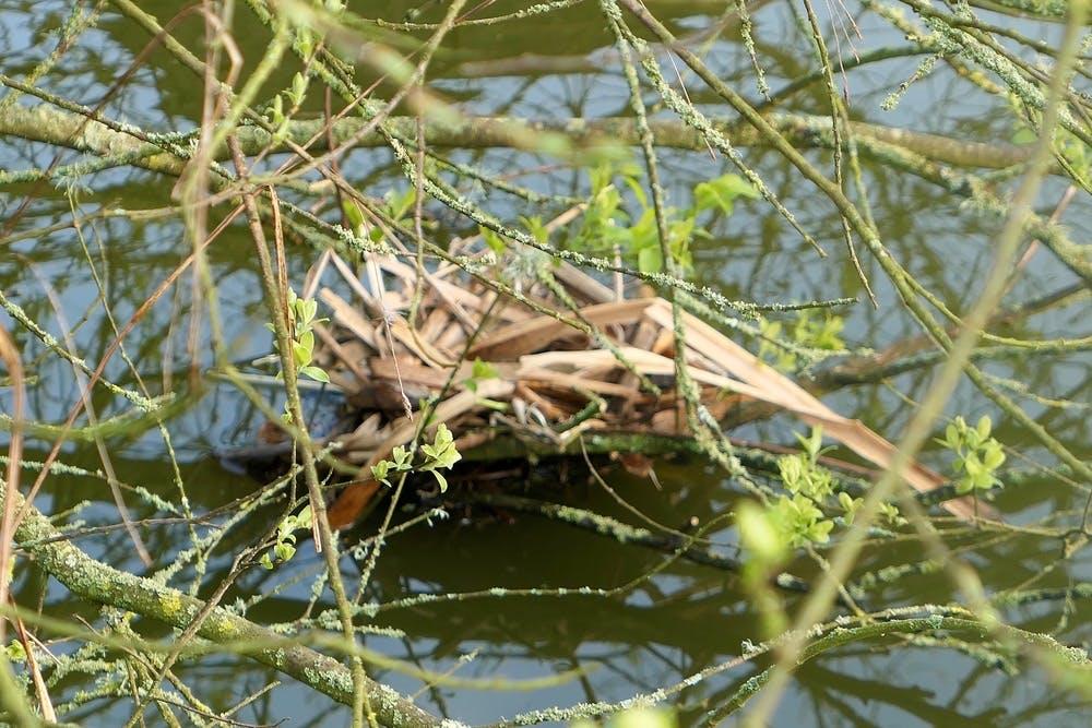 Moorhen nest at Bodfan