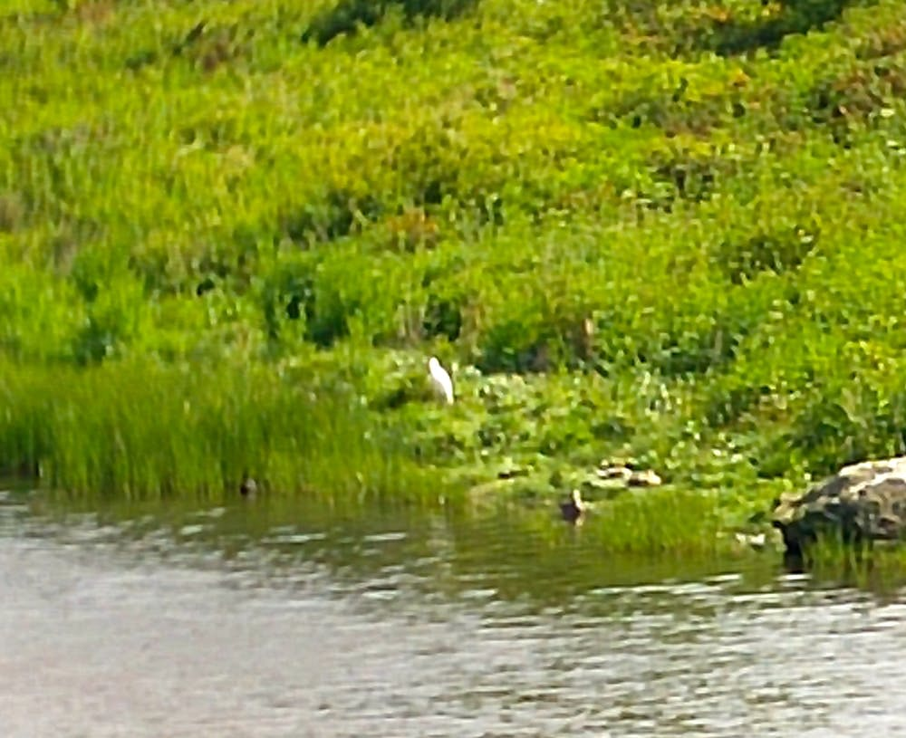 Little Egret on the banks at Valley Cob