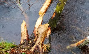Beavers in the burn