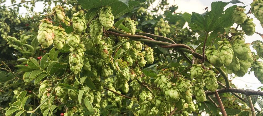Beautiful wild hops