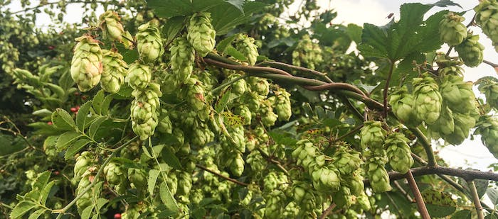 Beautiful wild hops