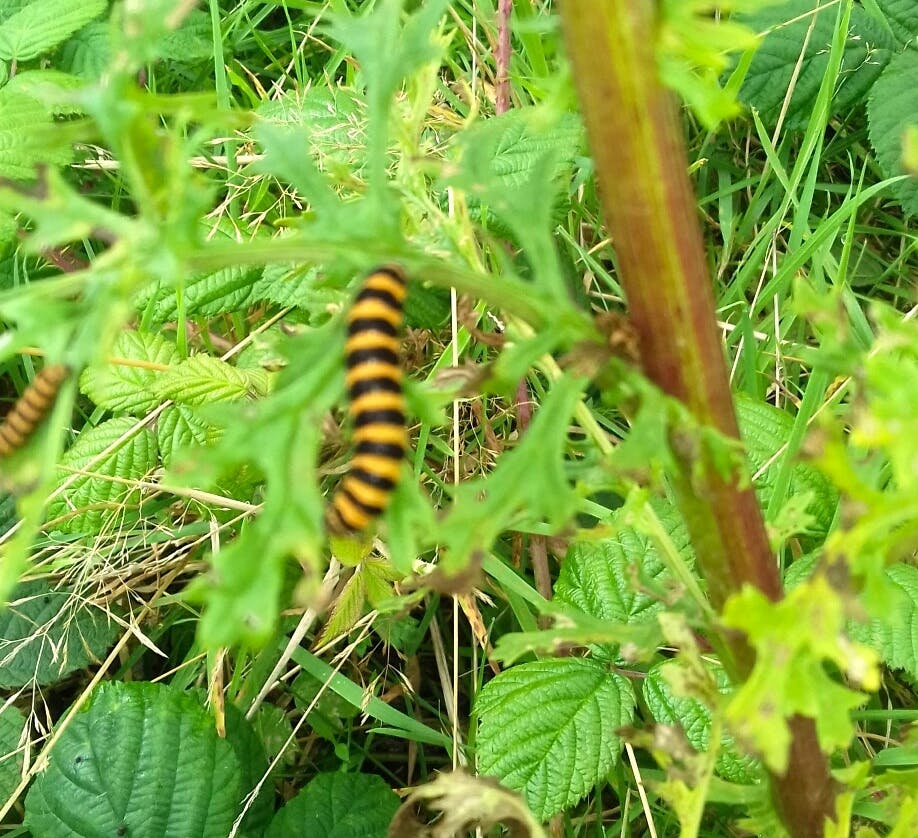 Cinnebar Moth caterpillars at Bodfan