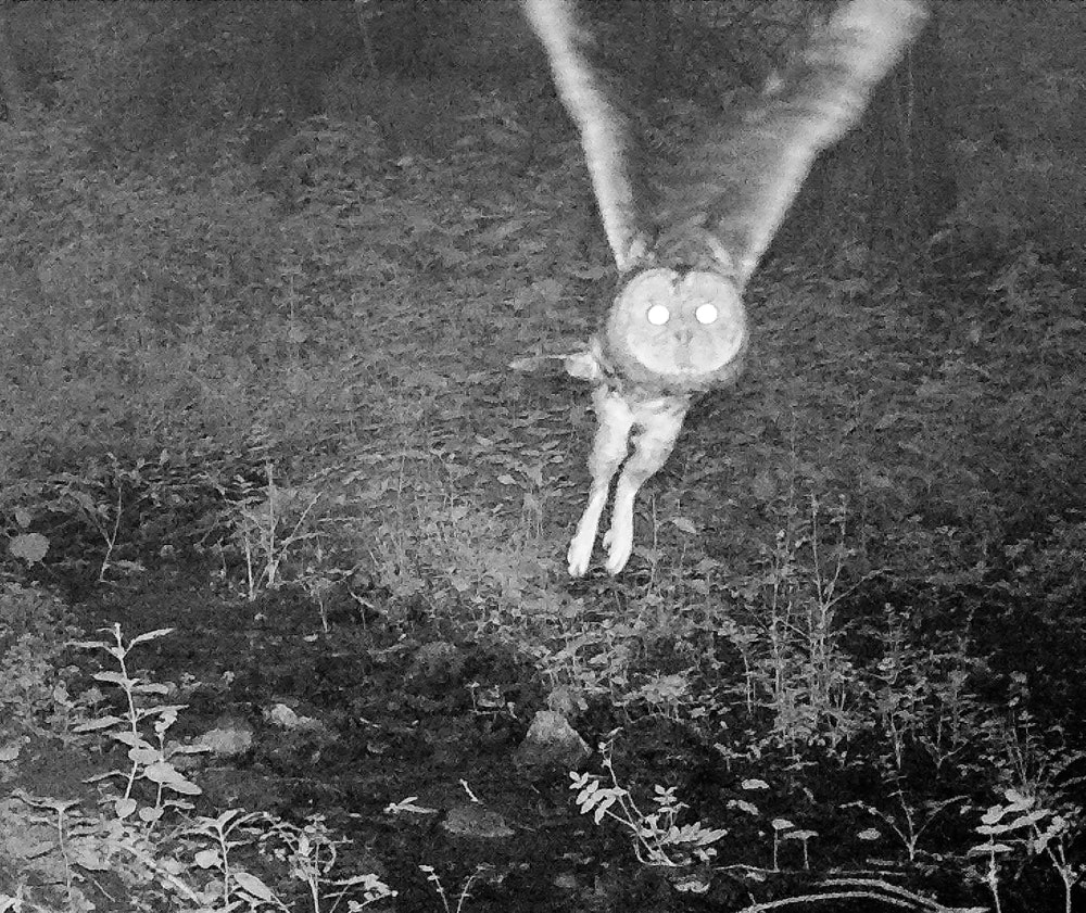 Tawny Owl takes flight, captured by nature cam
