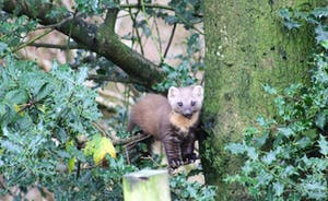 Pine Marten lunchtime December 1st