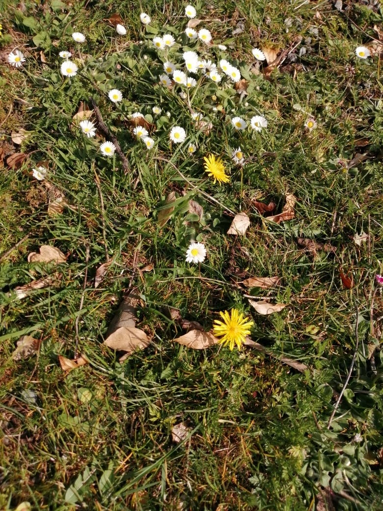 Daisies at Bodfan, Anglesey