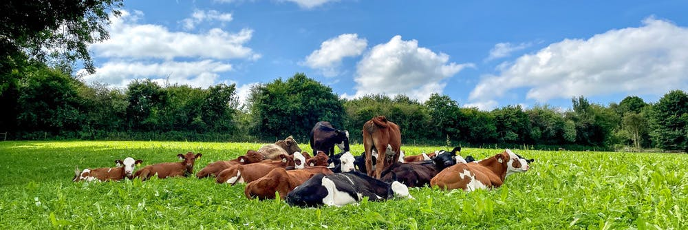 Colourful calves