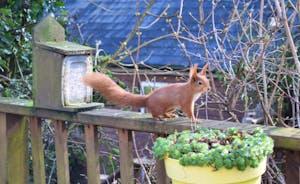 Red squirrel garden visitor