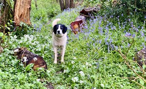 The Cottage Beyond: Pepsi walking through the bluebell woods