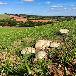 Wild field mushrooms in Broad Close