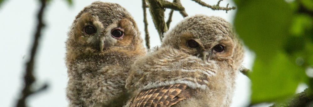 The cutest of cute owlets