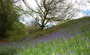 Bluebells on Coney's Castle