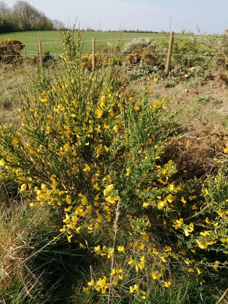 Yellow broom bush at Bodfan