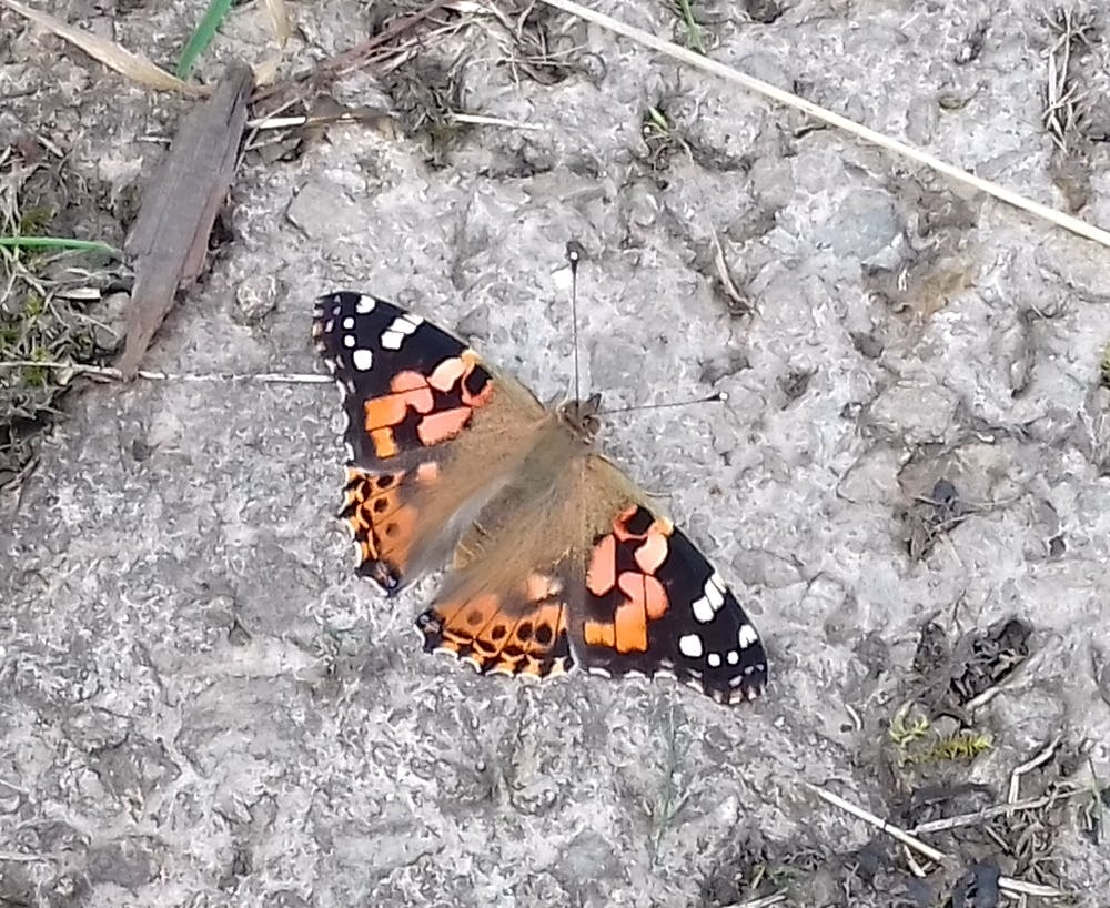 Painted Lady Butterfly at Bodfan