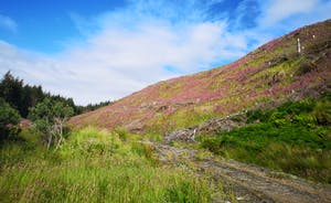 Hills awash with foxgloves