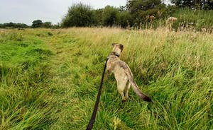 Gracie exploring the fields (has to be on lead or she chases the rabbits!)