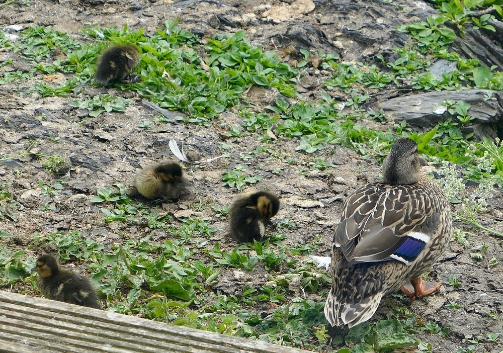 Momma duck and her ducklings at Bodfan