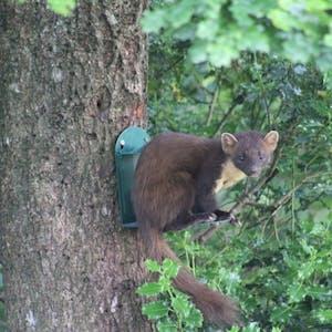 Pine Marten at our squirrel feeder