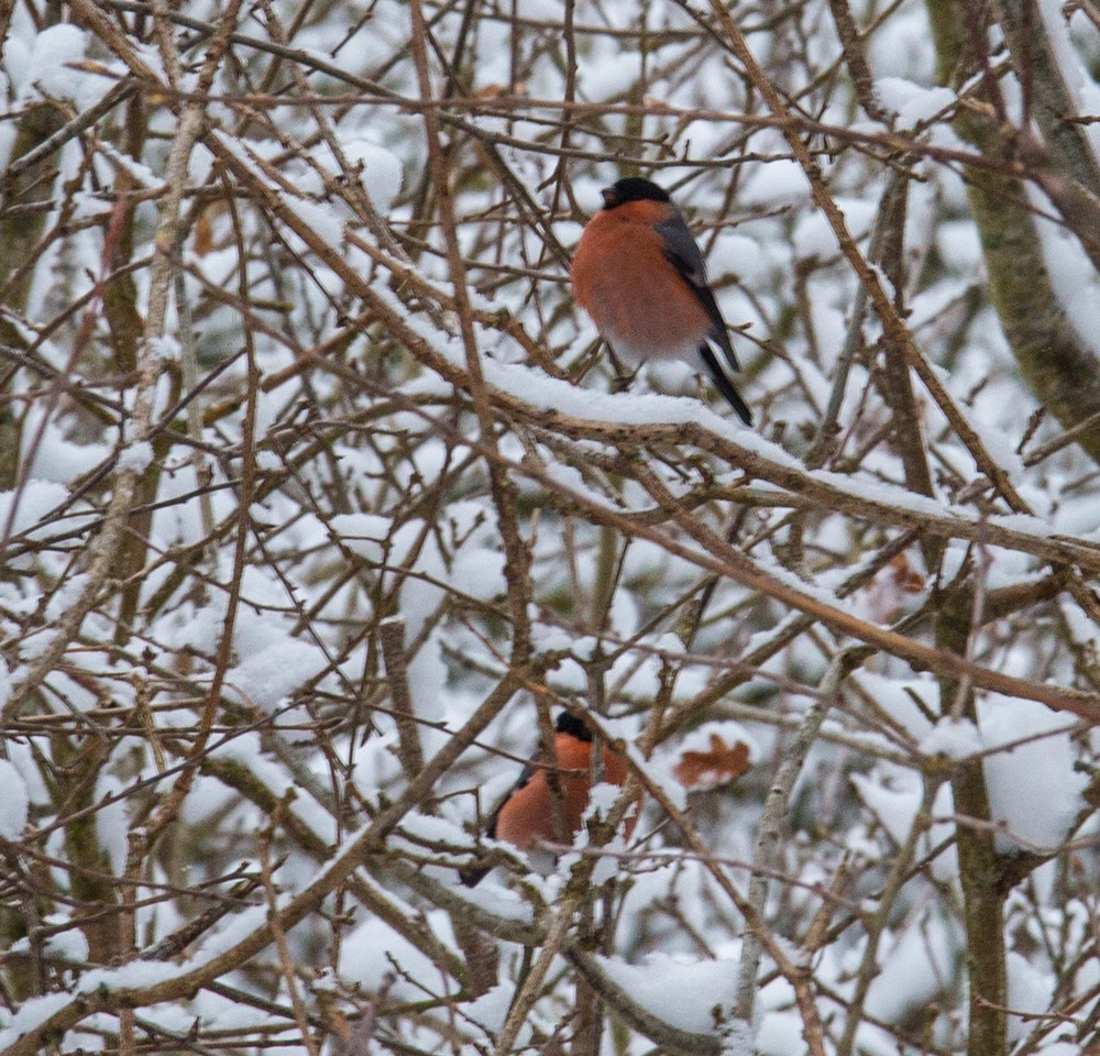 Beautiful bullfinches in the snow