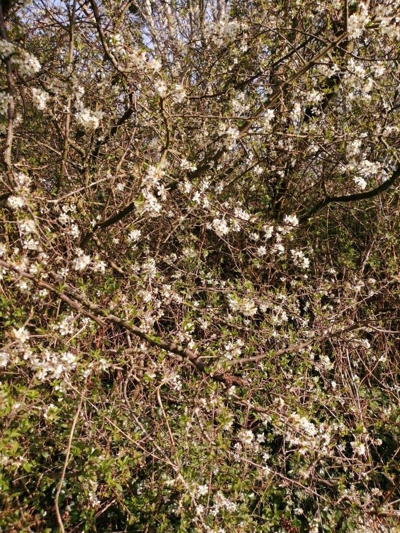 Hawthorne in flower at Bodfan