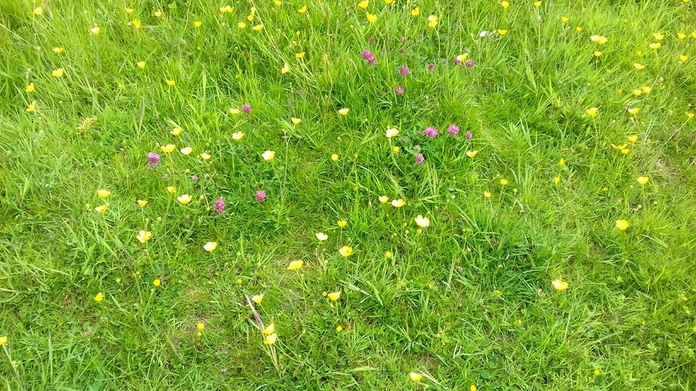 Wild flowers in the meadow at Anglesey